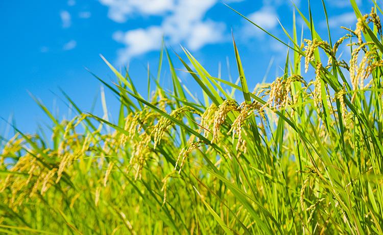 生命力にあふれる玄米の稲のイメージ写真